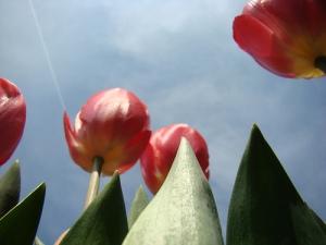 tulip, blue sky