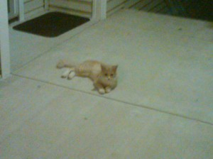 Stray cat, blonde