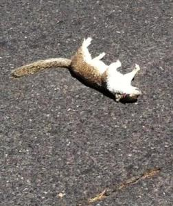 Dead squirrel on highway