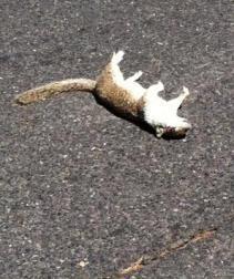 Dead squirrel on highway
