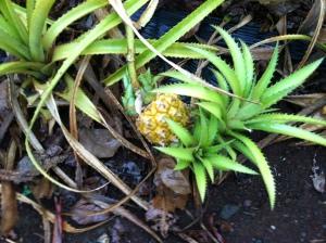 Pineapple Hawaii Dole Plantation