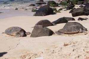 Sea turtles, Hawaii, North Shore