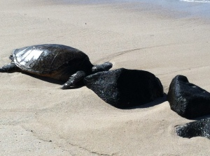 North Shore sea turtles Hawaii